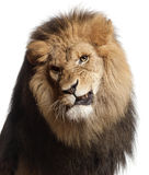 Close-up of lion snarling, Panthera leo, 8 years stock image