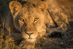 Close-up of lion staring in golden light Stock Image