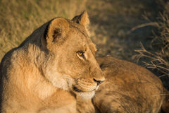 Close-up of lion at sunset staring intently Stock Images