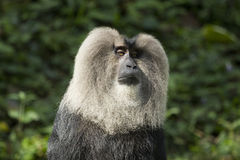 Close-up of Lion-tailed monkey Royalty Free Stock Photos