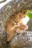 Close up of lion with wild eyes rests in tree Royalty Free Stock Images