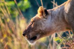 Close-up of a Lioness Royalty Free Stock Photo