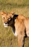 Close up of Lioness Stock Image