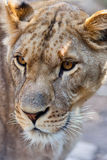 Close-up of Lioness Royalty Free Stock Photo