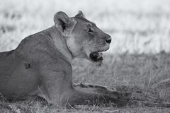 Close-up of a lioness lying down to rest on the soft Kalahari sa Stock Images
