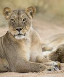 Close-up of a lioness lying down to rest on soft Kalahari sand. Close-up of a lioness lying down to rest on the soft Kalahari sand Royalty Free Stock Photo