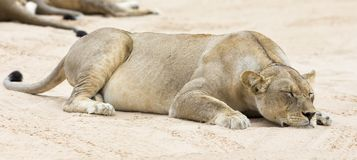 Close-up of a lioness lying down to sleep on soft Kalahari sand Royalty Free Stock Photography