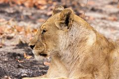 Close-up of lioness in Namibia stock photography