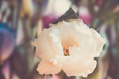 Close-up of lisianthus. Close-up shot of lisianthus in retro style Royalty Free Stock Photography