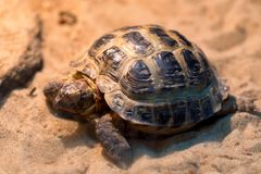 Small Russian tortoise or Agrionemys horsfieldii. Close up little Agrionemys horsfieldii on sand in aquarium Royalty Free Stock Photo