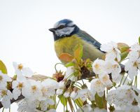 Close up of a little bird in a tree. Little Blue tit in spring perched on a branch with white blossoms royalty free stock photos