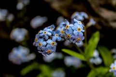 Close up of Little Blue Flowers with Yellow Centers stock image