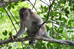 Close-up of a little brown monkey sits on the branches of a mangrove tree, holds a piece of bread in its paws and looks away royalty free stock images