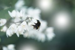Close-up of a little Bumblebee on a beautiful white Flower. View on a lovely Bumblebee on a amazing white Flower in Spring. A Filed with Flowers and Insects on stock photos