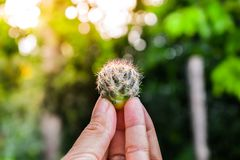 Cactus in Fingure royalty free stock image