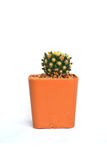 Close up little cactus in pot on white Stock Photography