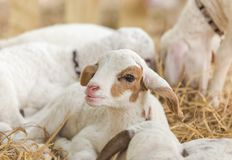 Close up little cute white lamb is lying relax with mother in the barn . Stock Images