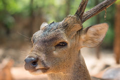 Close-up, Little deer have one horn royalty free stock photography