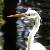 Close-up of a little egret Royalty Free Stock Photos