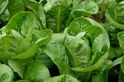 Close up Little Gem Romaine Lettuce. Royalty Free Stock Image