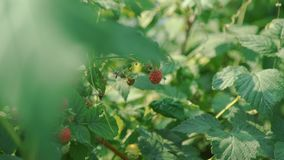 Close Up of Little Girl Picking Raspberries stock footage