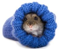 Little gray hamster sitting in knitted sock Royalty Free Stock Photos