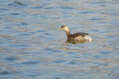 Little grebe Stock Photography