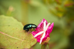 Close up of little green bug sucking juice from petals of pink flower Royalty Free Stock Photo