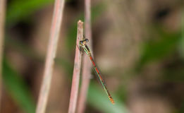 Close up little Green orange dragonfly. In thailand Stock Image