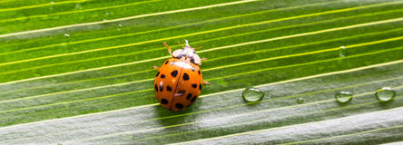 Close-up little ladybug on green  leaf with water drops Royalty Free Stock Photography
