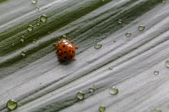 Close-up little ladybug on green plant leaf with water drops Royalty Free Stock Image