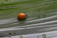 Close-up little ladybug on green plant leaf with water drops Royalty Free Stock Photography