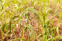 Close up of Little Millet stalk with grains. stock image