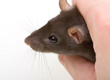 Close-up little mouse catch in human hand Stock Photos