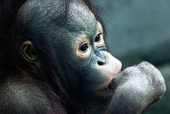 Close up of little orangutan (Pongo pygmaeus) Stock Photos