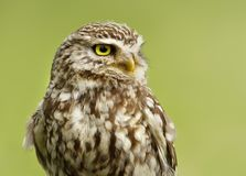 Close up of a Little owl against green background Royalty Free Stock Images