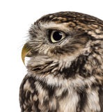 Close-up of a Little owl (Athene noctua) Royalty Free Stock Image
