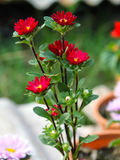 Close up little red flower. In the garden Stock Photography