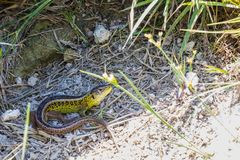 Close up of a little resting sand lizard stock images