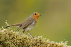 Close-up of little robin sitting on fern Stock Image