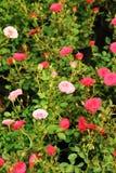 Close up little rose stock photos