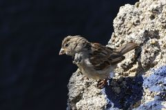 Close-up on a little sparrow Royalty Free Stock Photography