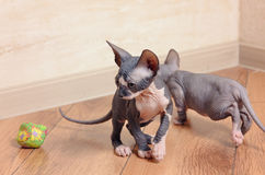 Close up Little Sphynx Kittens Inside the House Royalty Free Stock Image