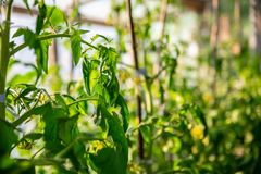 Close up of little young green tomatoes growing on green branches with blurred organic greenhouse background, agriculture and royalty free stock images