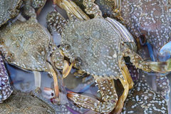 Close up  of live blue crabs Royalty Free Stock Photos