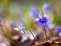 Close up of Liverworts flowers Royalty Free Stock Image