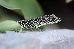Close up of lizard Royalty Free Stock Photos