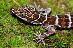 Close up lizard. At night Royalty Free Stock Photography