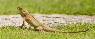 Close up of a lizard Stock Photography