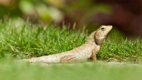 Close up of a lizard Royalty Free Stock Photos